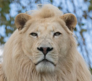 White Lion @ WIldlife Heritage Foundation
