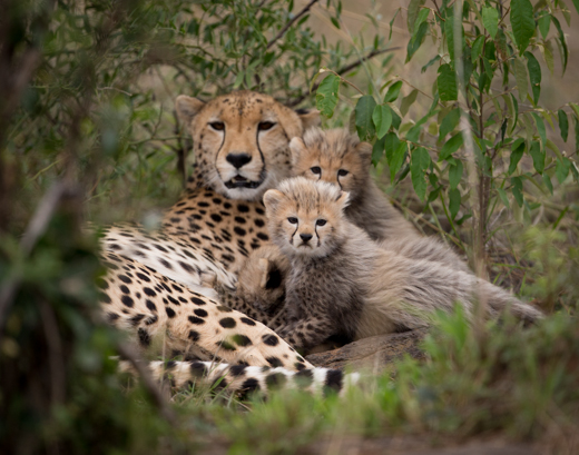 Cheetah mother with cubs.