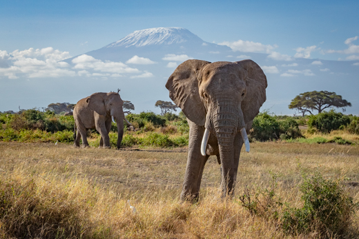Elephants in front of Mount Kilimanjaro